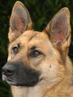 dog training for obedience law enforcement protection